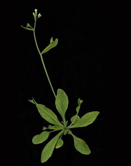 arabidopsis_0.jpg